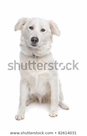Aidi or atlas mountain dog Stock photo © eriklam