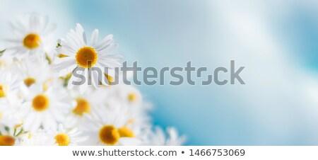 美しい 白 デイジーチェーン クローズアップ 花 植物 ストックフォト © dsmsoft