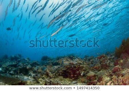 Barracuda Swimming Over Reef Stock photo © Laracca