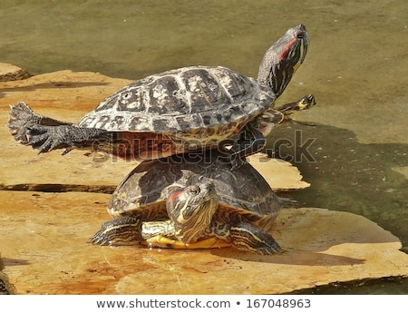 Csoport teknősök ül kő állatkert szemek Stock fotó © cozyta