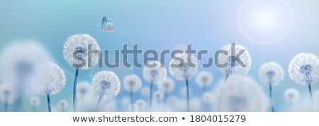 dandelion blowball and flying seeds stock photo © gewoldi