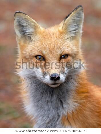 Róka rejtőzködik vad zöld legelő néz Stock fotó © filmstroem