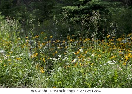Wild flowers on campground Stock photo © ivonnewierink
