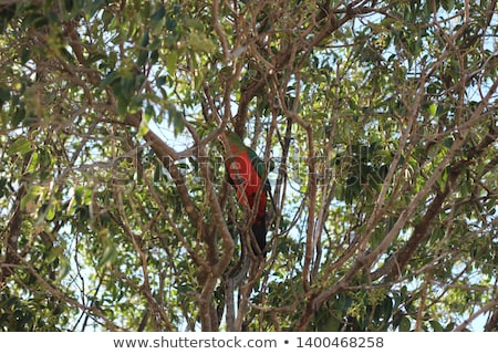 Australian King Parrot Alisterus scapularis red headed bird Stock photo © sherjaca