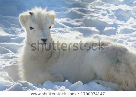 羊 · 雪 · 霧の · 風景 · 冬 - ストックフォト © samsem