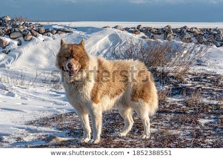 Kutya nagy férfi alaszkai portré mező Stock fotó © iTobi