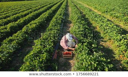 big strawberry on the field stock photo © mike_expert