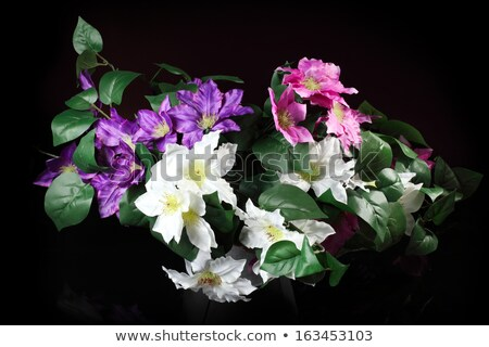 white clematis flower isolated on black background stock photo © lenapix