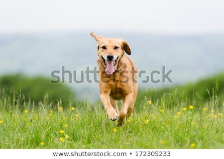 быстро · работает · собака · белый · смешанный - Сток-фото © buchsammy