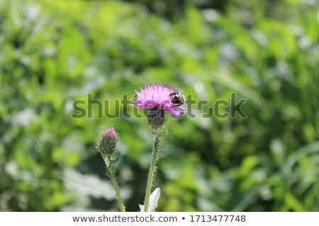 wild purple green thistel flowers background makro Stock photo © juniart