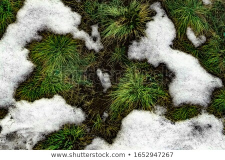 Melting snow midst grass Stock photo © fotoaloja