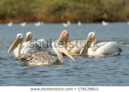 Squadron of Pink-backed and Great White Pelicans in the mangrove Stock photo © davemontreuil