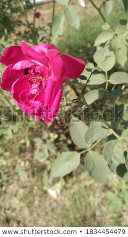 wild red rose during spring season stock photo © tab62