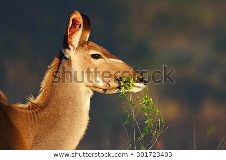 Kudu cow eating stock photo © ottoduplessis