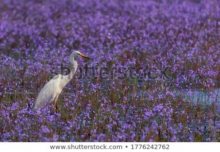 белый · цветы · скота · ходьбе · области - Сток-фото © ottoduplessis