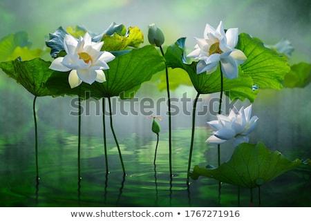 Bianco Lotus fiore acqua foglia bellezza Foto d'archivio © nalinratphi