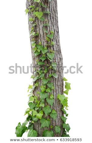 Ivy growing by bark of a tree Stock photo © alekleks