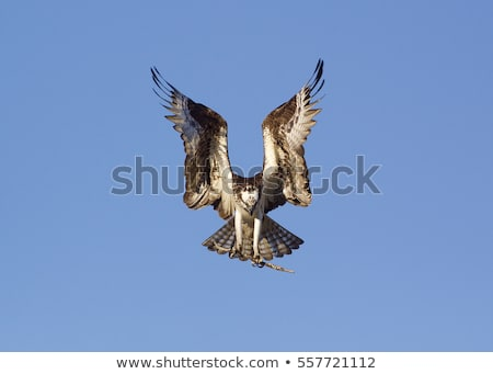 hawks with open wings Stock photo © lineartestpilot