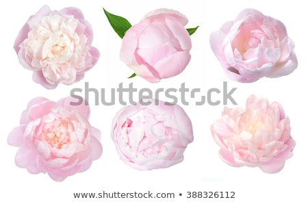 beautiful pink peony isolated on white background stock photo © tetkoren