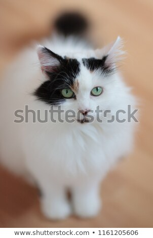 Van chat pur blanche regarder Photo stock © idesign