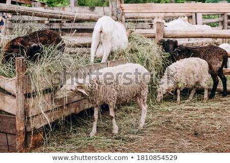 sheep and goats eat hay Stock photo © OleksandrO