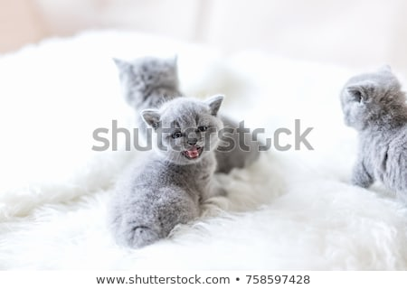 Baby Cat Meowing Stock photo © radub85