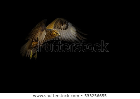 Black Falcon.Attacking Falcon. Stock photo © HunterX