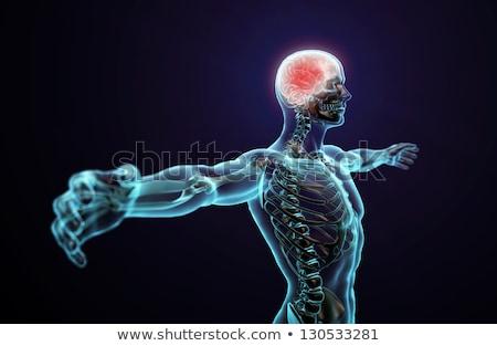 Anatomia humana visível esqueleto músculos arte homem Foto stock © kentoh