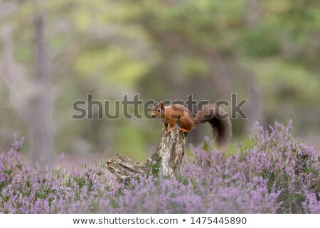 red squirrel on fallen tree stock photo © suerob