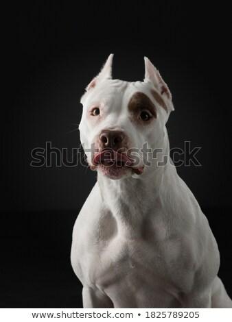 テリア 肖像 暗い スタジオ 幸せ 動物 ストックフォト © vauvau
