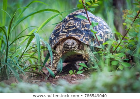 Close up of a Leopard tortoise in the Kruger National Park. Stock photo © simoneeman