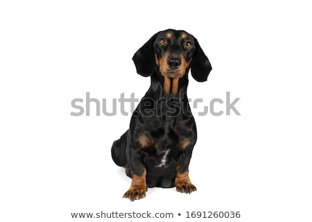 Funny Dachshund in a white isolated background Stock photo © vauvau