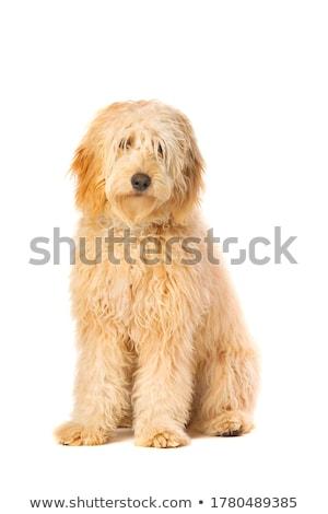 Brązowy mieszany psa biały studio Zdjęcia stock © vauvau