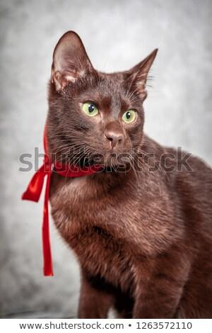 domestic cat posing in a dark studio Stock photo © vauvau