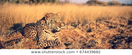 leopard laying in the grass stock photo © simoneeman