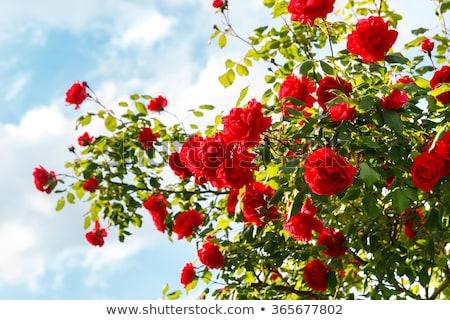 красную розу небе иллюстрация цветок природы фон Сток-фото © bluering