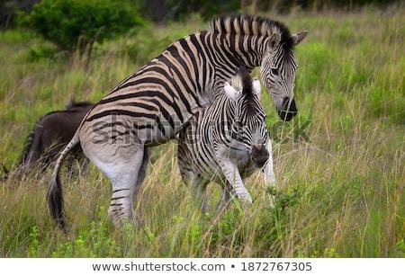 kettő · zebrák · etetés · fű - stock fotó © simoneeman