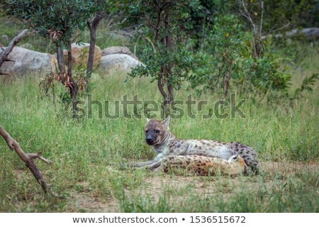 Bonding Spotted hyena in the Kruger National Park, South Africa. Stock photo © simoneeman