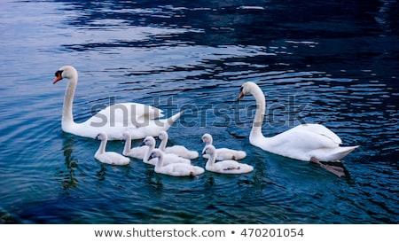 néma · hattyú · úszik · tavacska · szépség · fehér - stock fotó © brianguest