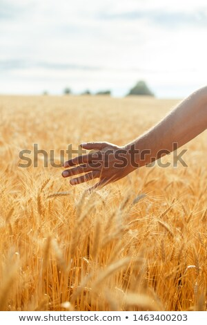 Female hand touching wheat on the field in a sunset light Stock photo © vlad_star