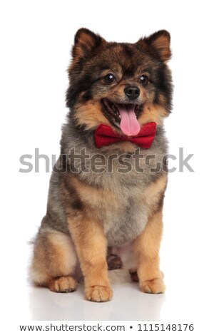 classy pomeranian sitting and panting while looking to side Stock photo © feedough