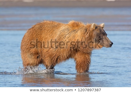 Stock photo: Grizzly Searching for Salmon in a Tidal Estuary