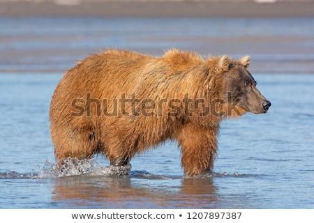Grizzly keres lazac park Alaszka biológia Stock fotó © wildnerdpix