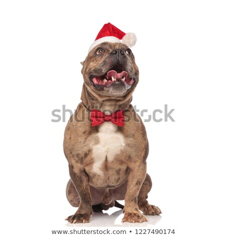 excited santa american bully with red bowtie looking up Stock photo © feedough