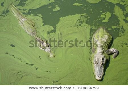 Deux crocodiles zoo illustration fond signe Photo stock © colematt