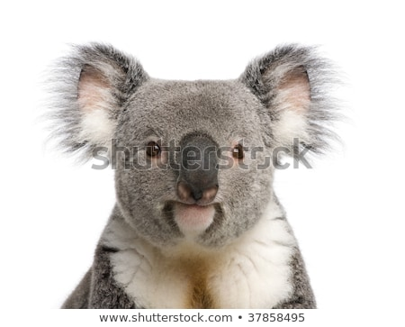 koala theme image 3 stock photo © clairev
