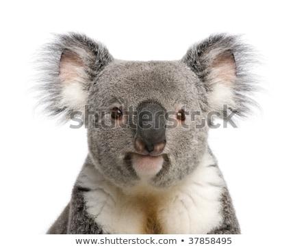Koala theme image 3 Stock photo © clairev