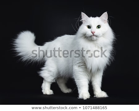 sólido · blanco · gato · impresionante · pie · lado - foto stock © CatchyImages