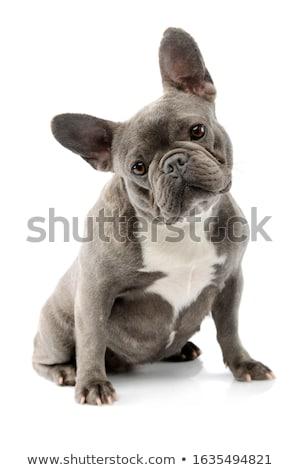 Adorabile francese bulldog seduta nero Foto d'archivio © vauvau