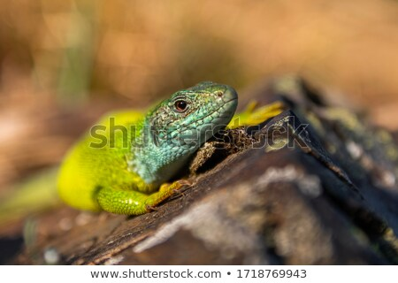 Stockfoto: Kleurrijk · hagedis · steen · geïsoleerd · witte · groene
